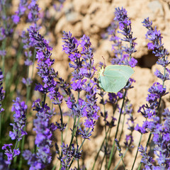 lavender flowers with butterfly in France