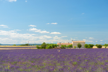 lavender flowers with house in France