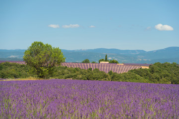 lavender flowers  in France