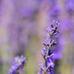 Purple lavender in France