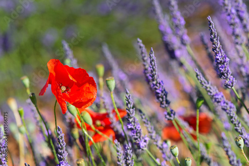 Fotobehang Lavendel lavender field in France with red poppies