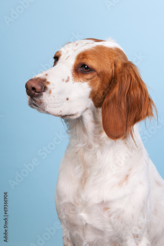 canvas print picture Portrait of Cross-breed Spaniel