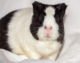 guinea pig, home pet