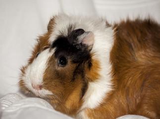 guinea pig, home pet