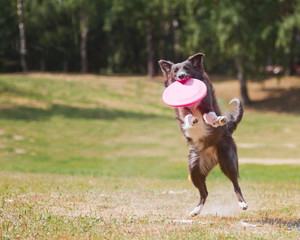 black and white Border Collie Frisbee. Canine sports.