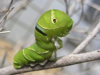 アゲハチョウの幼虫2