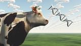 GMO Cow Question