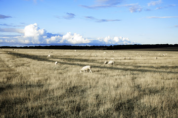 Landcape with sheep