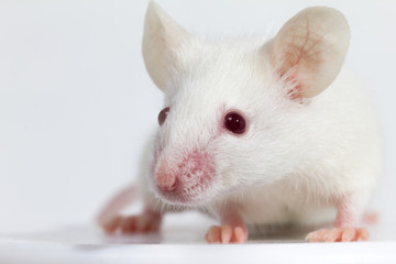 White laboratory mouse (BALB/C), white background
