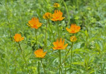Globe-flower (Trollius chinensis) 3