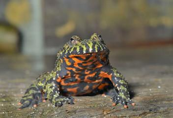 Frog (Bombina orientalis) 1