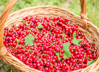 Red currants in basket.