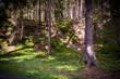 canvas print picture - Wald mit Nadelbäumen