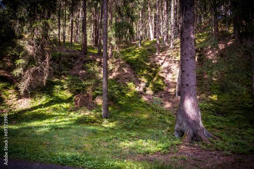 canvas print picture Wald mit Nadelbäumen