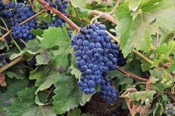 Viña con uvas maduras en el campo