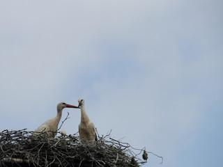 Storchen-Liebe