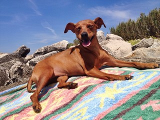pinscher Shila at the beach