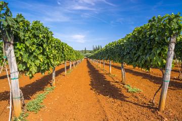 Green vineyard rows near Rovinj, Croatia