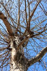 Sycamore Tree Naked