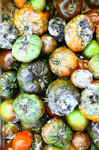 canvas print picture tomates pourriture,moisissures pour compost