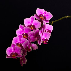 pink orchid flowers on black