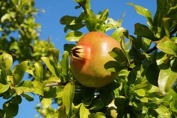 Frutto di melograno su pianta
