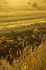 Golden wheat field against sun rays