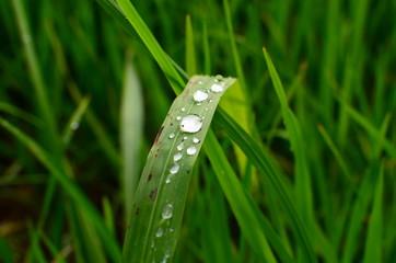 Rice Paddy Leafs