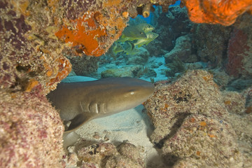 Nurse Shark hiding at Key Largo Reef