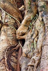 tropical banyan tree (ficus benghalensis) .