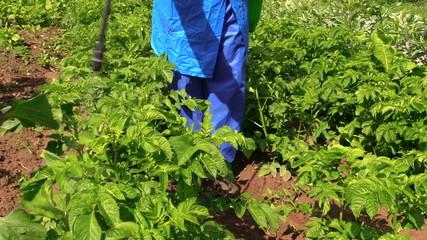 Gardener fertilize potato plants in garden