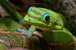 Gold dust day gecko while looking at you - 69383738