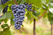 canvas print picture - Branch of red wine grapes
