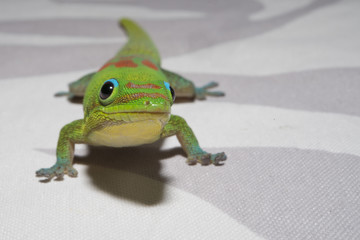 Gold dust day gecko while looking at you