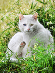 White cat with different colored eyes is sitting in the long gra