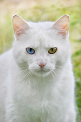 Cat with different colored eyes, unusual.