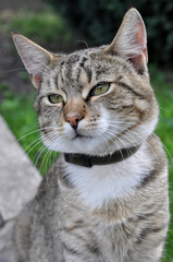 ortrait of big tabby cat with collar of fleas. Adult gray tabby