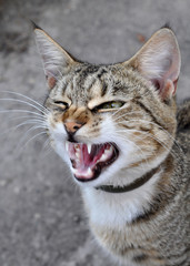 funny cat yawning mouth full
