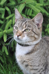 Portrait of big tabby cat with collar of fleas. Adult gray tabby