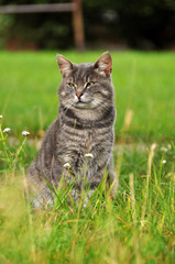 gray cat on a background of green grass.