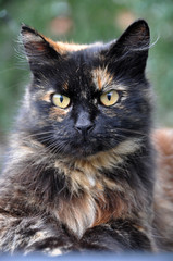 Portrait of an adult spotted multicolor cat.