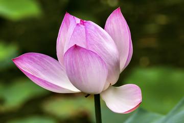Pink Lotus Pond Sun Temple Beijing China