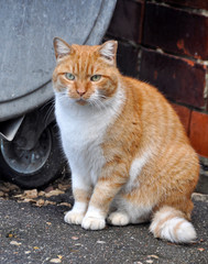 Fat cat sitting near a dumpster.