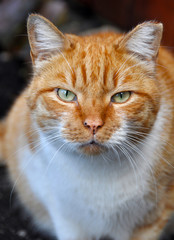 Portrait of an adult fat red color cat