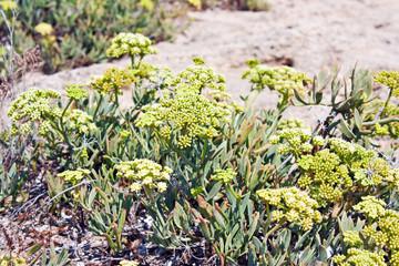 finocchio marino (Crithmum maritimum), Puglia, Italy