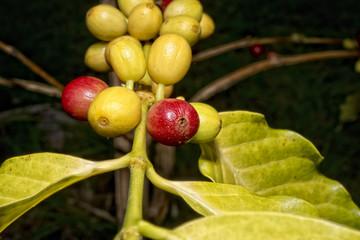 Mature coffee seeds kona hawaii