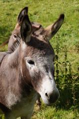 Tête d'un petit âne gris