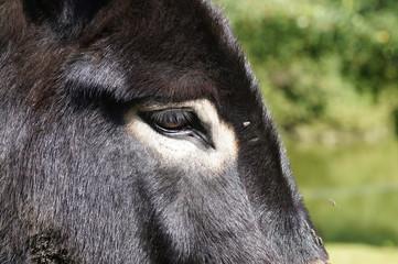 Regard d'un âne grand noir du Berry