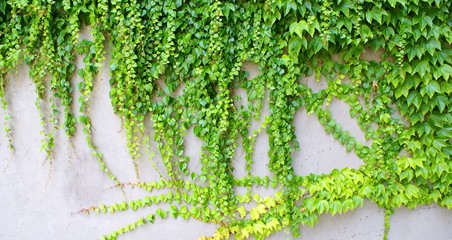 Ivy - climbing ever green plants on the wall