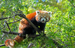 Red panda sitting on a tree branch